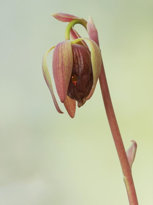 fleur darlingtonia red