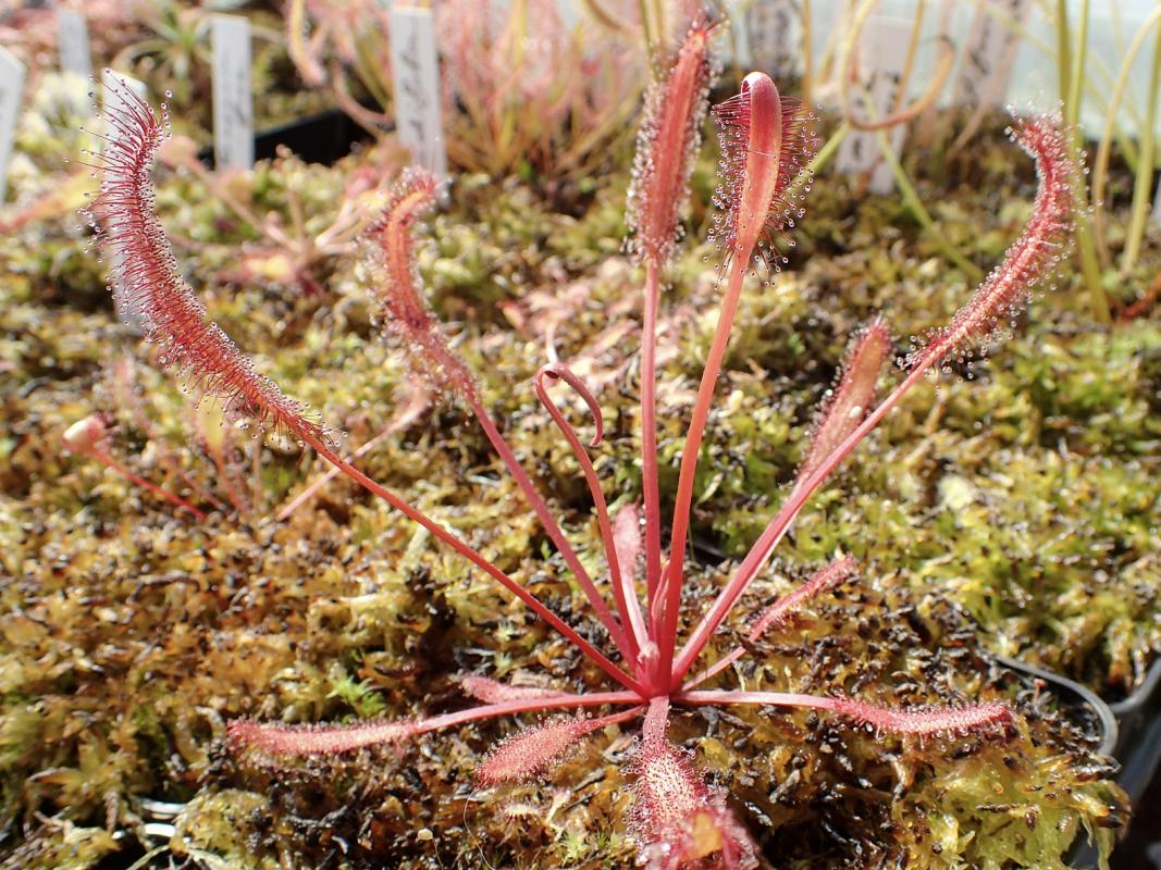 drosera capensis red