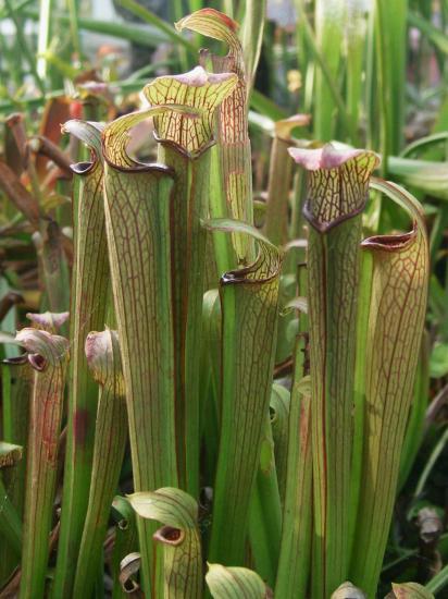 Oreophila 1