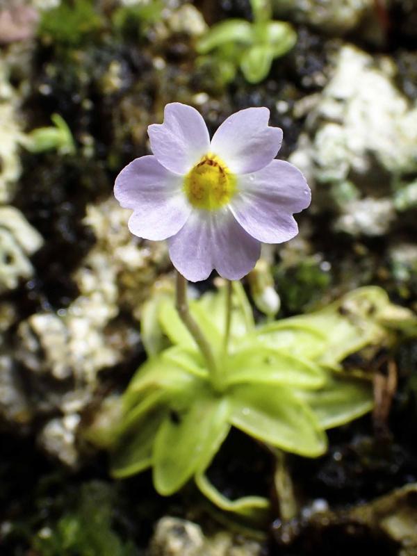 Primuliflora